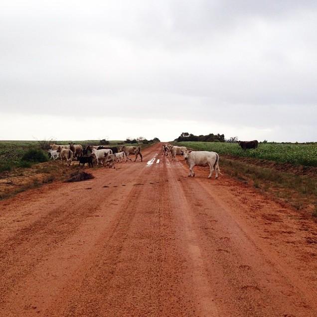 HuttRiver_Cows