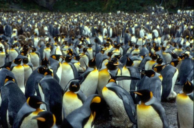 Crozet_Pingüinos